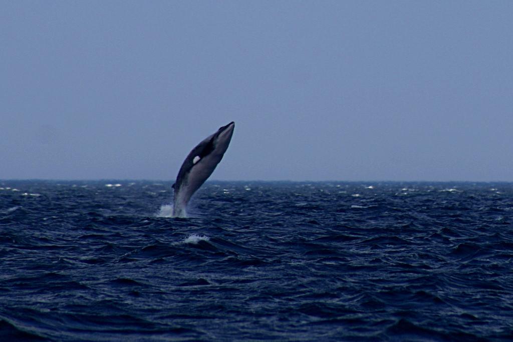 minke whale breach Juneau Alaska